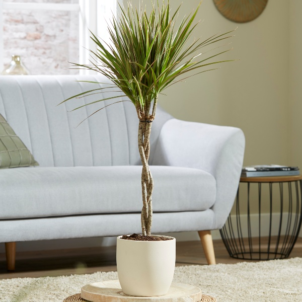 Twisted Cane Dracaena marginata 'Tricolour' | 3L Pot | By Plant Theory
