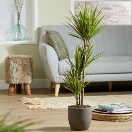 3 Cane Dracaena marginata 'Rainbow' | 3L Pot | By Plant Theory
