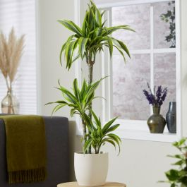 3 Cane Dracaena deremiensis 'Lemon Lime' | 3L Pot | By Plant Theory