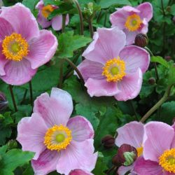 Anemone 'Little Princess' | 10.5cm Pot