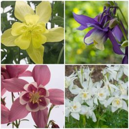 Aquilegia 'Spring Magic' Collection | 3 x 2L Pots