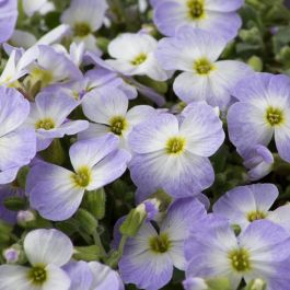Aubrietia 'Blue Blush Bicolour' | 10.5cm Pot