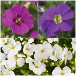 Premium Aubrietia Collection | 'Rose', 'Red', 'Kitte', & 'White' | 4 x 10.5cm Pots