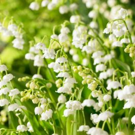 Lily of the Valley | Convallaria majalis | 10.5cm Pot
