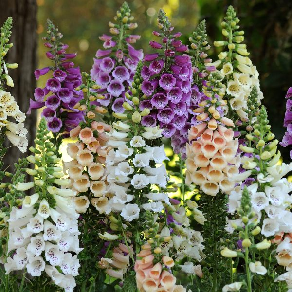 Digitalis purpurea 'Dalmation Mix' | 3 x 2L Pots