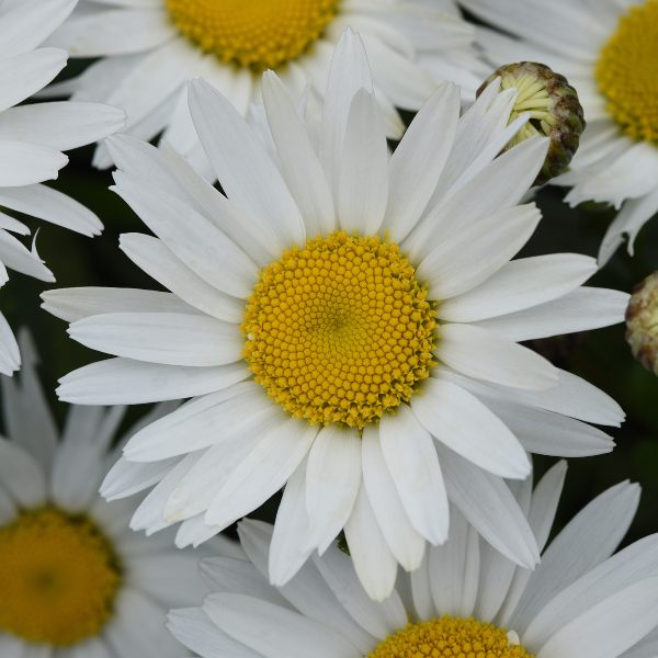 Leucanthemum Maximum F1 'Madonna' | 10.5cm Pot