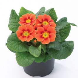 Primrose 'Sphinx F1 Real Orange' | Primula vulgaris | 10.5cm Pot