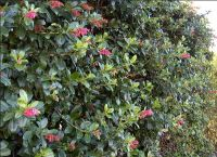 "5X Escallonia Pink Hedging 20-30cm P9 ""Apple Blossom"""