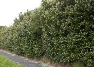5X Escallonia White Hedging 20-30cm