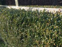 1.5m Box Hedging - 30-45cm - Bare-root Buxus sempervirens (Pack of 5 Plants)