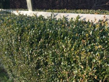 1.5m Box Hedging - 25-30cm - Bare-root Buxus sempervirens (Pack of 5 Plants)