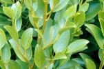 "25X  New Zealand broadleaf Hedging 30-45cm 'Griselinia Littoralis' ""Kapuka"" - 9cm Pot"