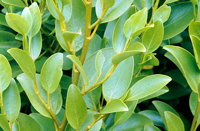 "5X New Zealand broadleaf Hedging 30-45cm 'Griselinia Littoralis' ""Kapuka"" - 9cm Pot"