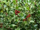 10X Common Holly Hedging 20-30cm 'Ilex Aquifolium' - 9cm Pot