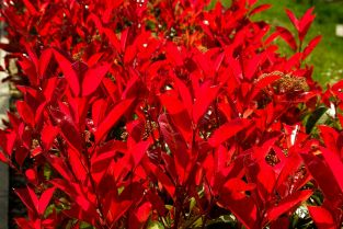 5X Photinia Fraseri Hedging 8-10cm 'Little Red Robin' - 9cm Pot