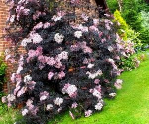 5X Black Elder Hedging 15-20cm 'Sambucus Nigra' 'Black Lace' - 9cm Pot