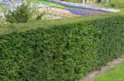 5X Common Yew Hedging 15-20cm P9 'Taxus Baccata'