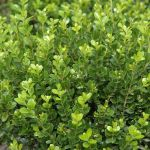 5X Buxus Hedging 8-10cm P9 'Microphylla Faulkner'