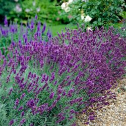 3x Old English Lavender Plants | 9cm Pots