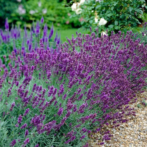 5X Old English Lavender Hedging 5-10cm 'Lavandula Angustifolia' - 9cm Pot