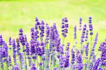 Natural Cat Deterrent - Old English Lavender x 5 - 9cm Pot
