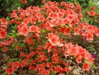 5X Rhododendron Hedging 10-15cm 'Evergreen Azalea' (Orange-red, Pink, White) - 9cm Pot