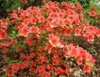 5X Rhododendron Hedging 10-15cm P9  'Evergreen Azalea' (Orange-red, Pink, White)