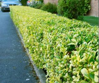 5X Golden Privet Hedging 'Ligustrum Ovalifolium Aureum' 35-50cm Bare Root