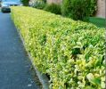 10X Golden Privet Hedging 'Ligustrum Ovalifolium Aureum' 35-50cm Bare Root