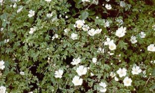 5X Field Rose Hedging 'Rosa Arvensis'  45-60cm Bare Root