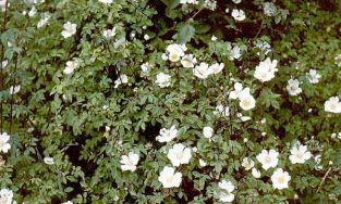 25X Field Rose Hedging 'Rosa Arvensis'  45-60cm Bare Root