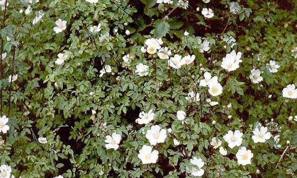 10X Field Rose Hedging 'Rosa Arvensis'  45-60cm Bare Root