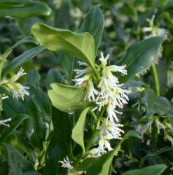 5X Christmas Box Hedging 10-15cm 'Sarcococca Confusa' - 9cm Pot