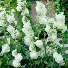 25cm Alcea 'Chaters White' | 3L Pot