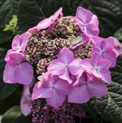 Pink Indoor Hydrangea | Lace Cap | 14cm Pot | By Plant Theory