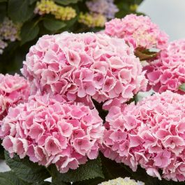 Pink Indoor Hydrangea | Mop Head | 14cm Pot | By Plant Theory