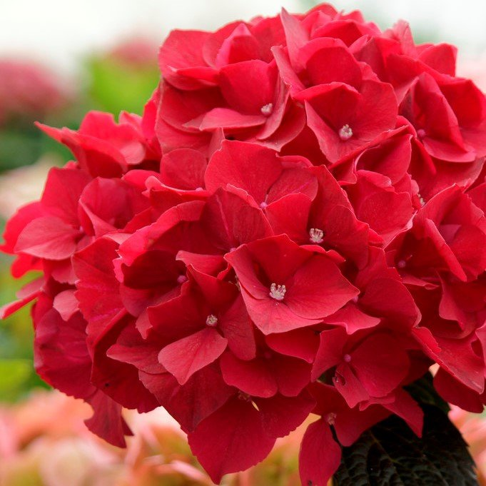 Red Indoor Hydrangea | Mop Head | 14cm Pot | By Plant Theory