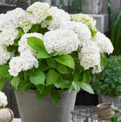 White Indoor Hydrangea | Mop Head | 14cm Pot | By Plant Theory