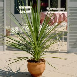 2ft Cordyline 'Peko' | 2 Litre Pot