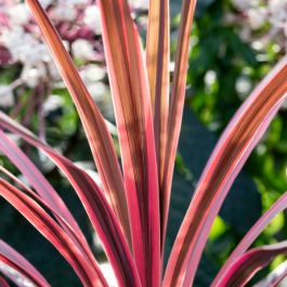 2ft Cordyline 'Pink Passion' | 2 Litre Pot