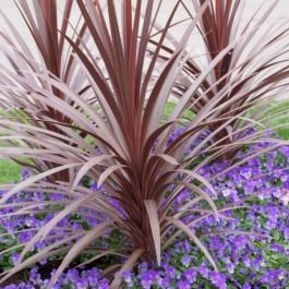 2ft Cordyline 'Red Star' | 2 Litre Pot
