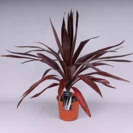 2ft Cordyline 'Superstar' | 2 Litre Pot