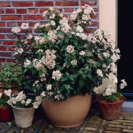 30cm Viburnum tin. 'Eve Price' | 4.5L Pot