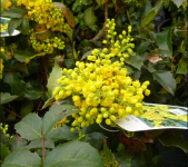 "5x Mahonia aquifolium ""Oregon Grape"" 45-60cm Bare Root"