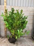 5.5m Cherry Laurel Hedging 125-150cm Rootballed 'prunus laurocerasus rotundifolia' (7 Rootballs)