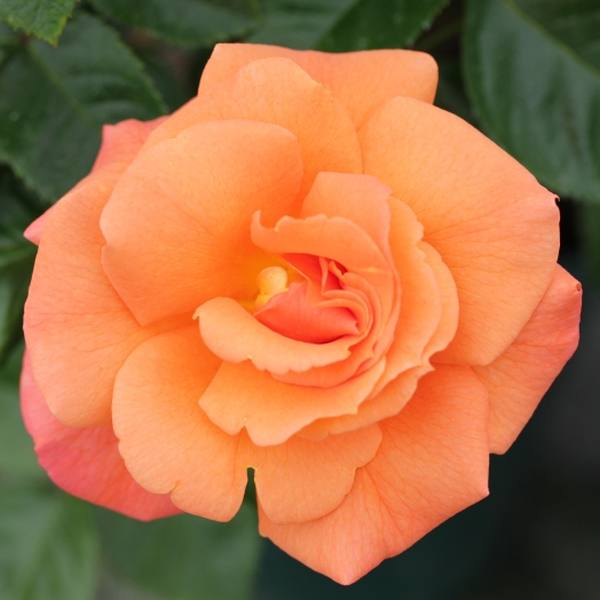 Scent From Heaven' Climber Rose - 5.5L Pot