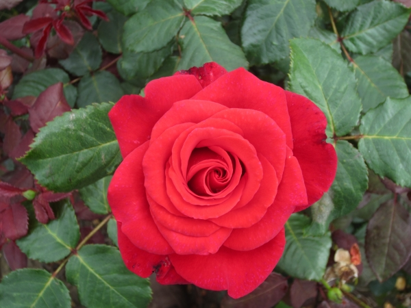 'Happy Ruby Wedding' Bush Rose - 5.5L Pot