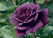 'Ebb Tide' Bush Rose - 4L Pot