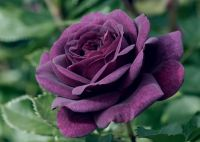 Ebb Tide' Bush Rose - 4L Pot