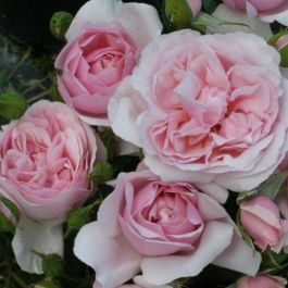 Natasha Richardson' Bush Rose - 4L Pot